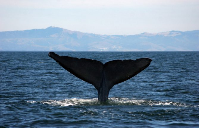Princess Monterey Whale Tail